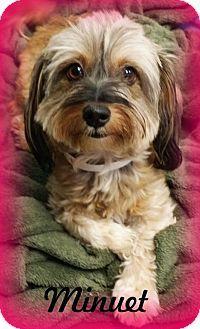 Anaheim Hills Ca Shih Tzu Yorkie Yorkshire Terrier Mix Meet Minuet A Dog For Adoption