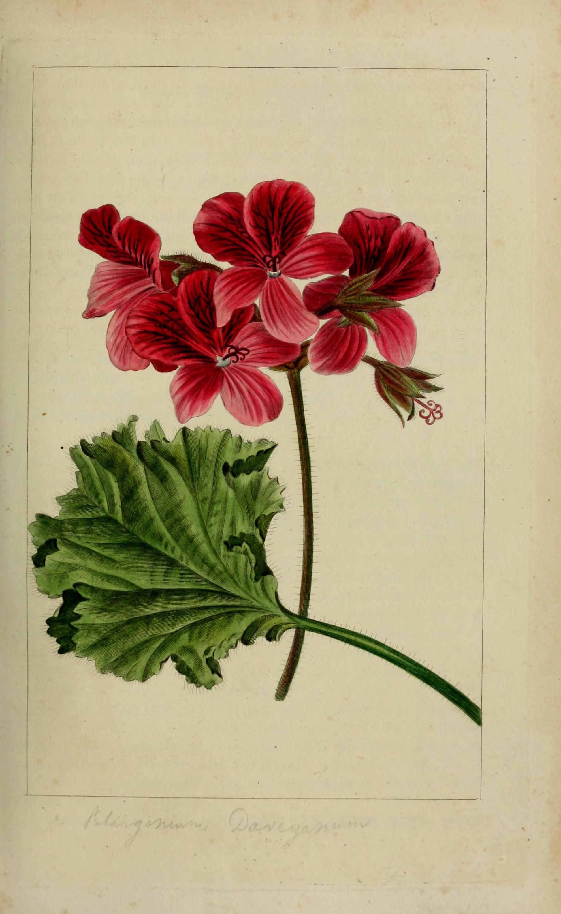 Pelargonium betulinum (L.) L'Hérit. ex Aiton