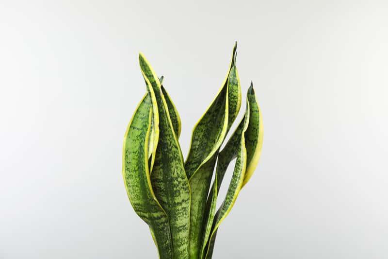 Sansewieria Wezownica Czyli Jezyk Tesciowej Jako Popularny Kwiat Doniczkowy Oraz Jego Cena Uprawa I Pielegnacja Cactus Plants Plants Plant Leaves