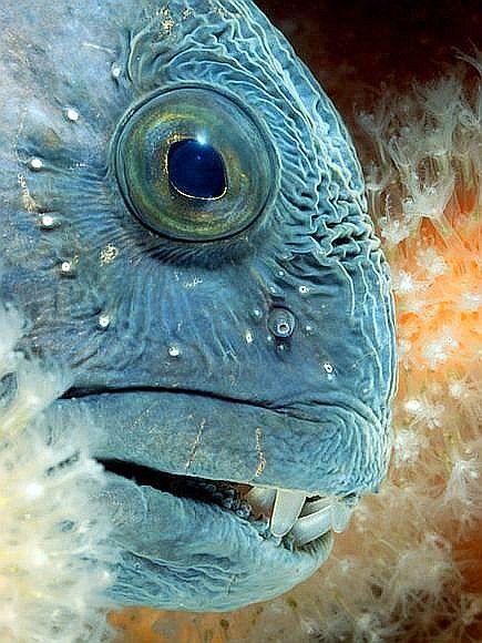 Atlantic Wolf Fish Deep Sea Creatures Sea Creatures Deep Sea