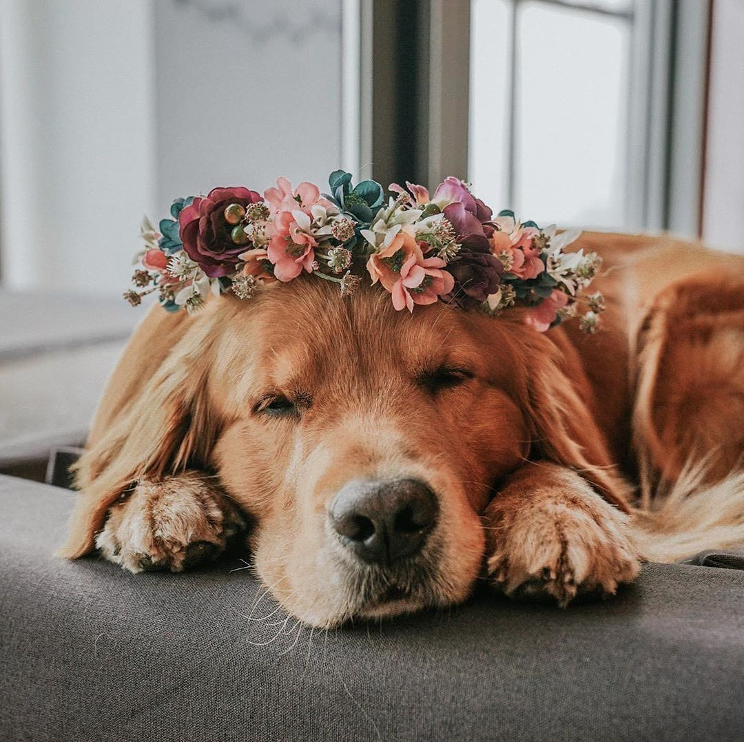 Golden Retriever wearing a flower crown in 2020 Golden