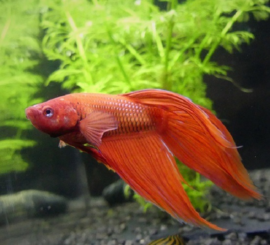 How Often Should You Feed A Betta Fish How Much Betta Fish Betta Baby Betta Fish