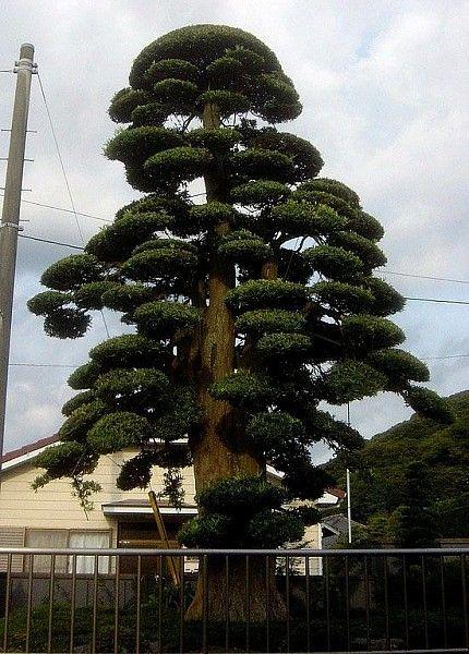 Enormous Podocarpus macrophyllus (Yew) pruned the Niwaki way. Kagoshima, Southern Japan. by Keith