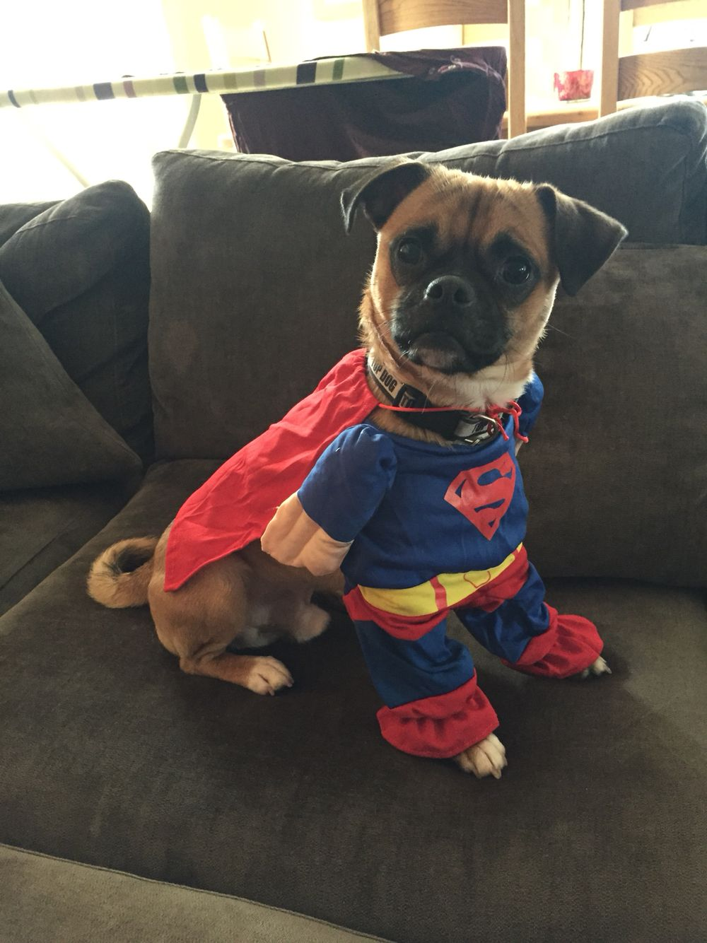 Puggle Pug Puppy Dog Superman Costume Animals Pinterest