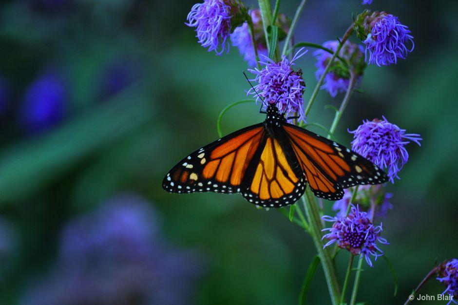 Meadow blazing star, Liatrus ligulistylis Butterfly