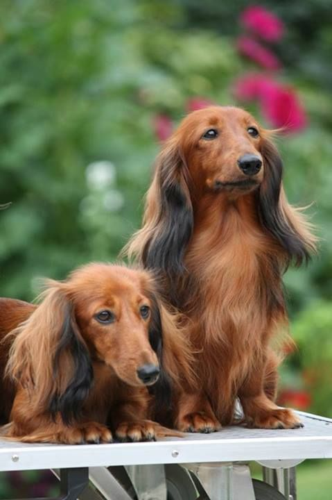They Are So Beautiful Dachshund Puppy Long Haired Long Haired