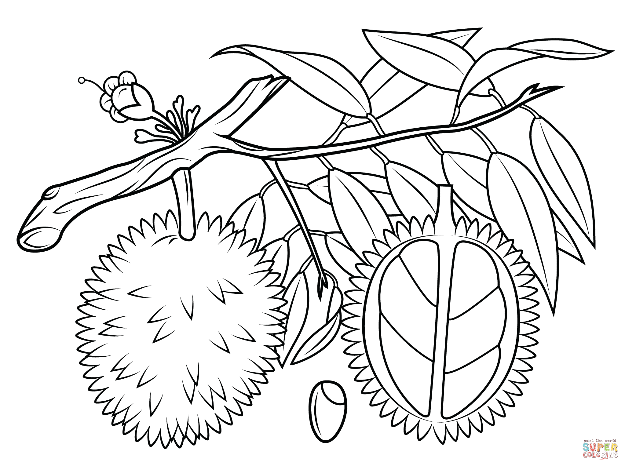durian branch coloring pagepng 20461526