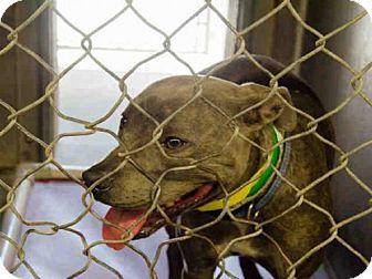 Mesa, AZ - American Pit Bull Terrier. Meet DUSTY ROSE, a dog for adoption. http://www.adoptapet.com/pet/18078229-mesa-arizona-american-pit-bull-terrier