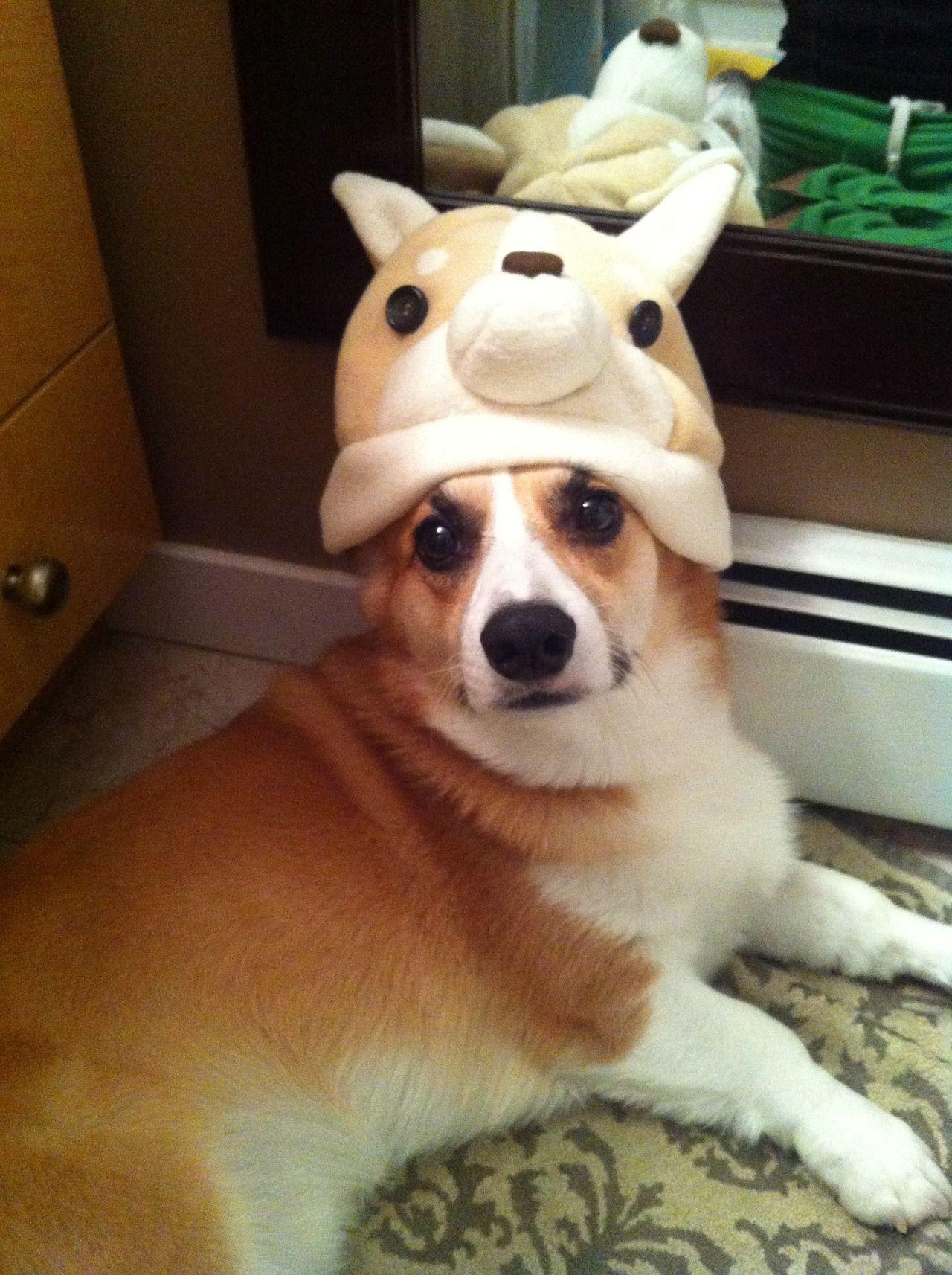 Corgi in a Corgi hat.......perfect! | Corgis | Corgi, Cute ...