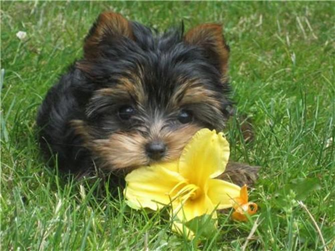 Puppies For Sale And Adoption In Ohio Maltese Havanese