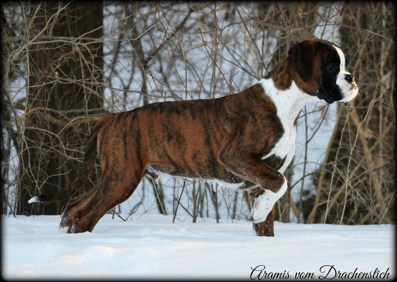 Havenwoods Boxers Top Quality Akc German And American Boxers Based In Central Ohio Show Quality Working German Boxers Health Tested Boxer Puppies Boxer Puppies For Sale Boxer Dogs