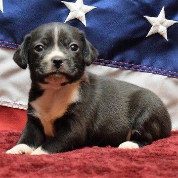 Beagle Puppy For Sale In Chattanooga Tn Adn 36573 On Puppyfinder
