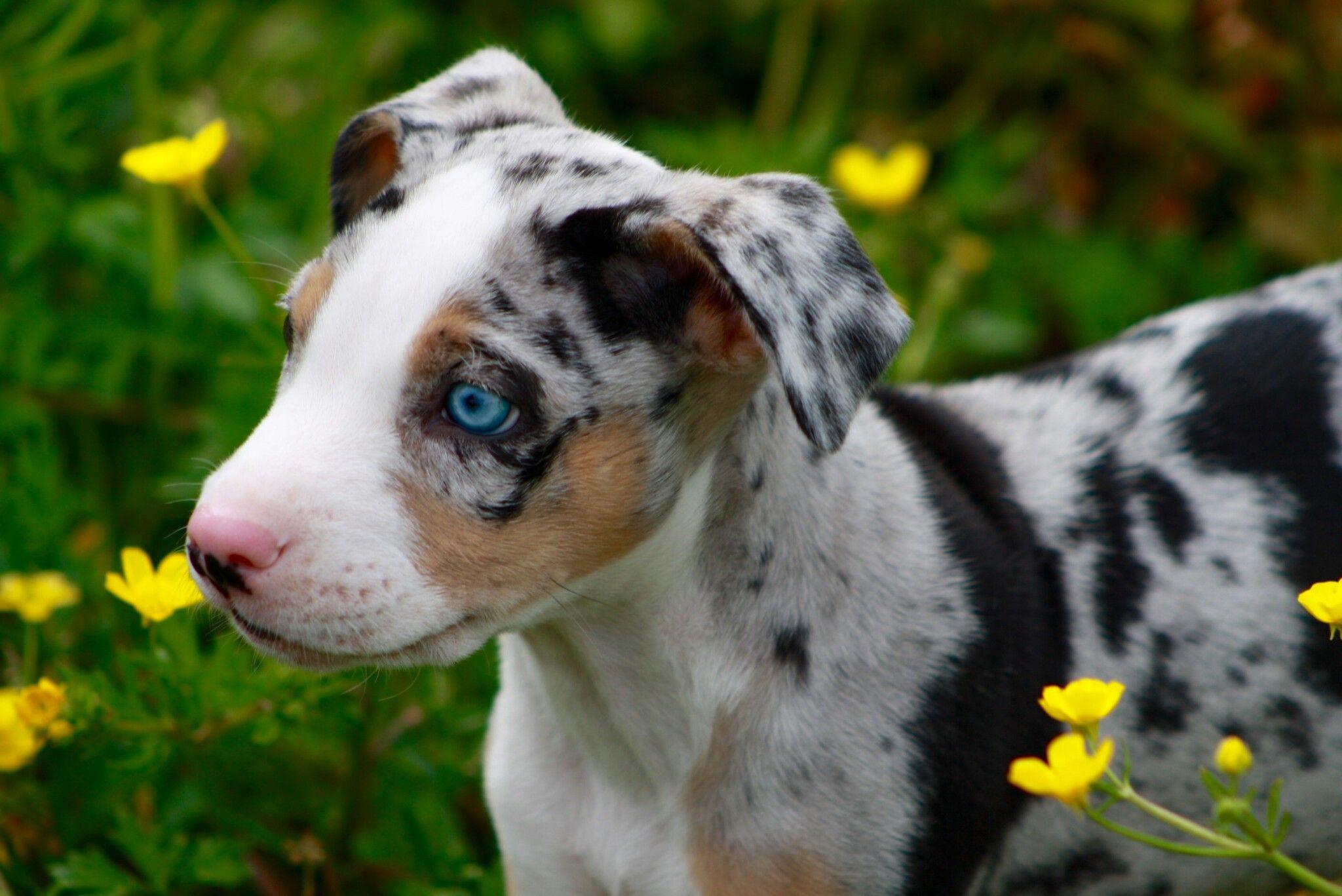 Pin On Louisiana Catahoula Leopard Mixed Dogs Hybrid Puppies
