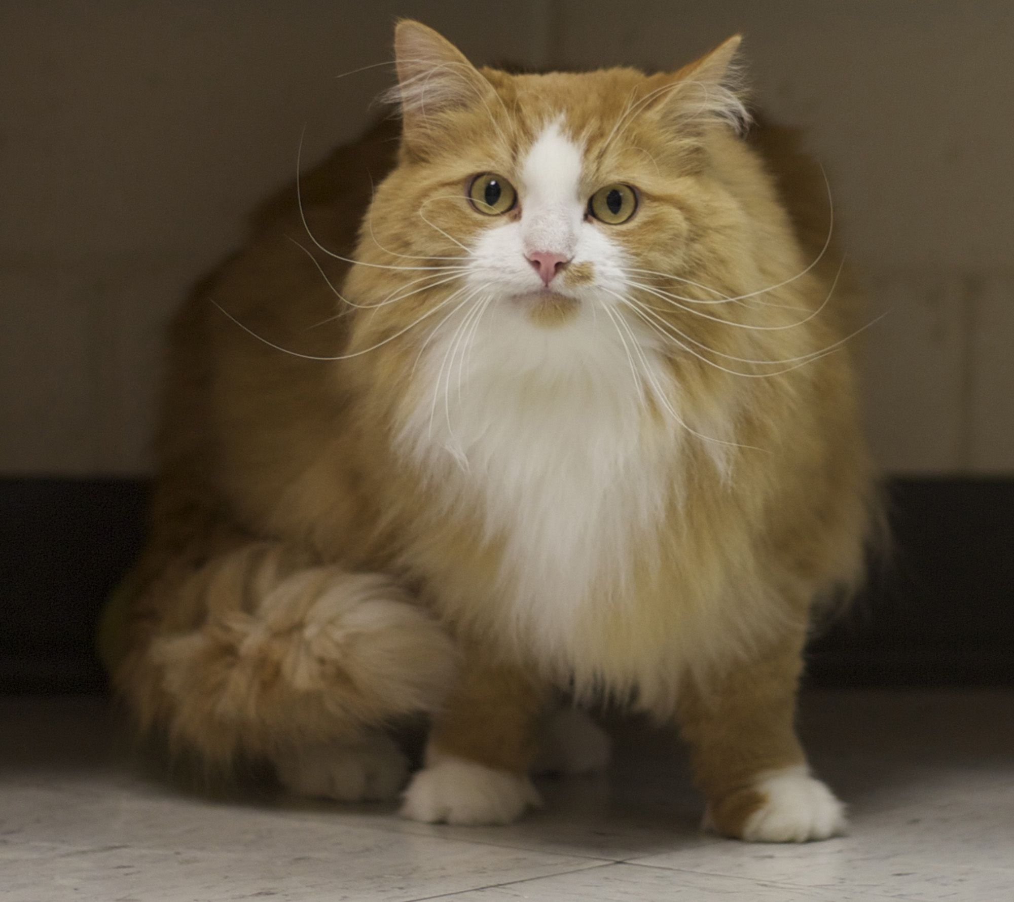 Murphy Is A 5 Year Old Orange And White Domestic Longhair Pets