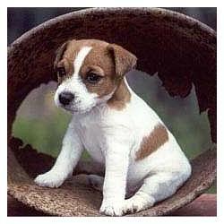 Jack Russell Terrier - Fotoalbum - jack russell terrier - Jack Russell Terrier