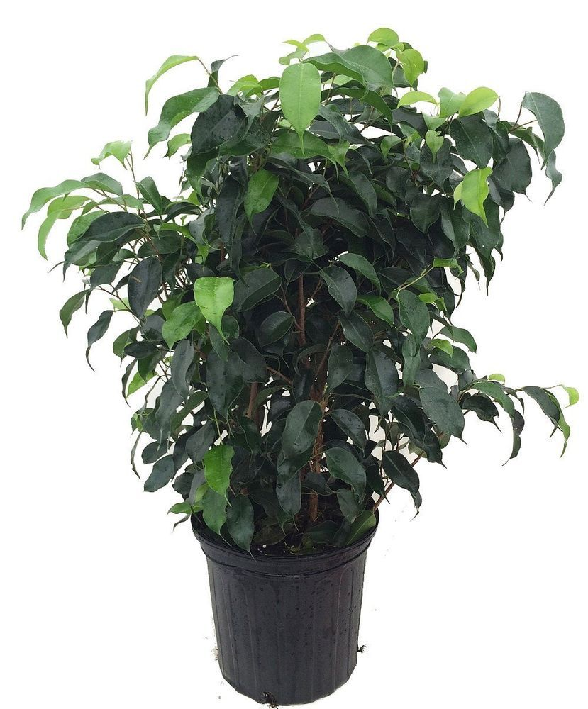 Details about Tree Ficus Wintergreen Weeping Fig Indoor 8″ Pot Hoose Plant Office Bset Gift