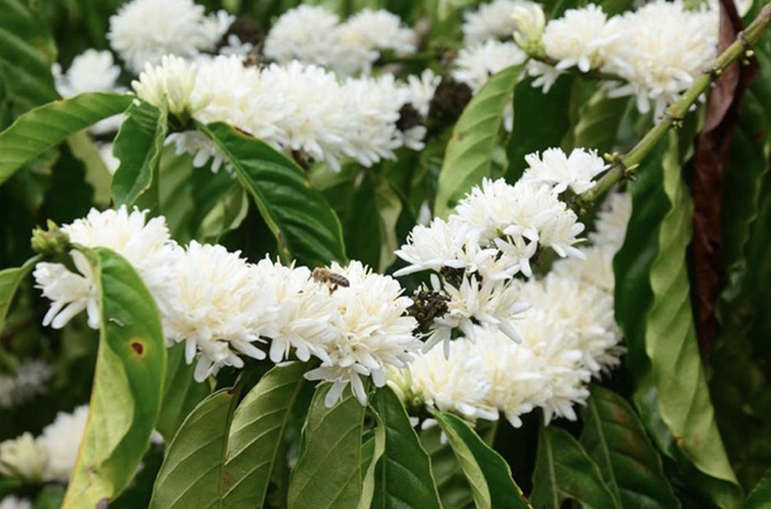 Coffee flowers from Central Highlands of Vietnam | Artful