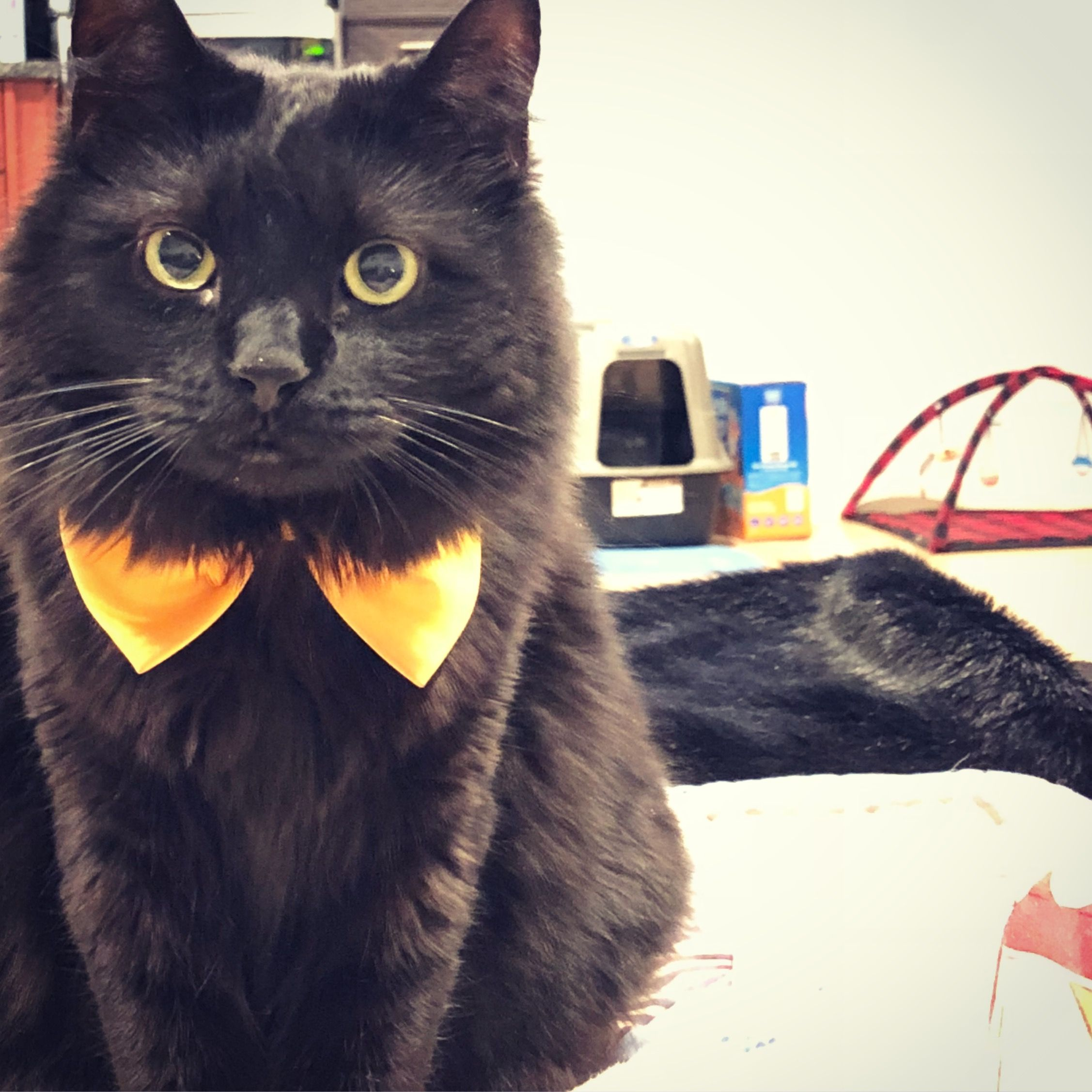 Joker Black Cat Lovers Black Cat Lover Dog Cat Cats