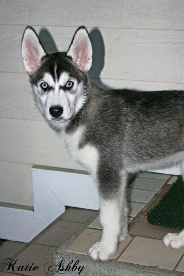 Rainier The Siberian Husky Service Dog As A Puppy When He Was 3