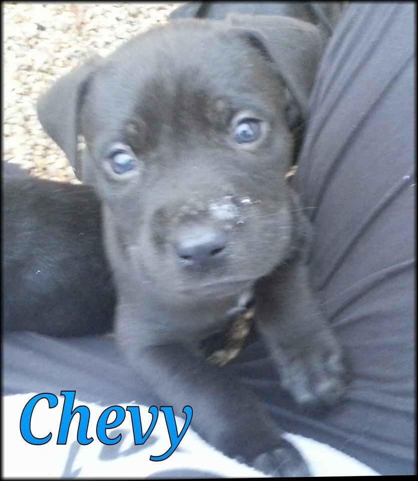 Chevy is a handsome 7 week old male Pit/lab mix. All he wants is a ...