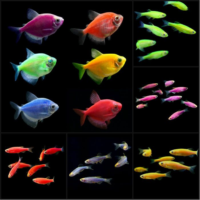 how to tell if your neon tetra is pregnant