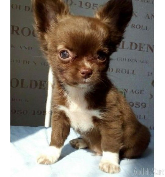 Chihuahua Puppy For Sale Near Worcester Central Ma