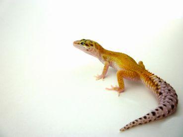 MD-Terraristik - 0.1 Leopardgecko, Tangerine eclipse