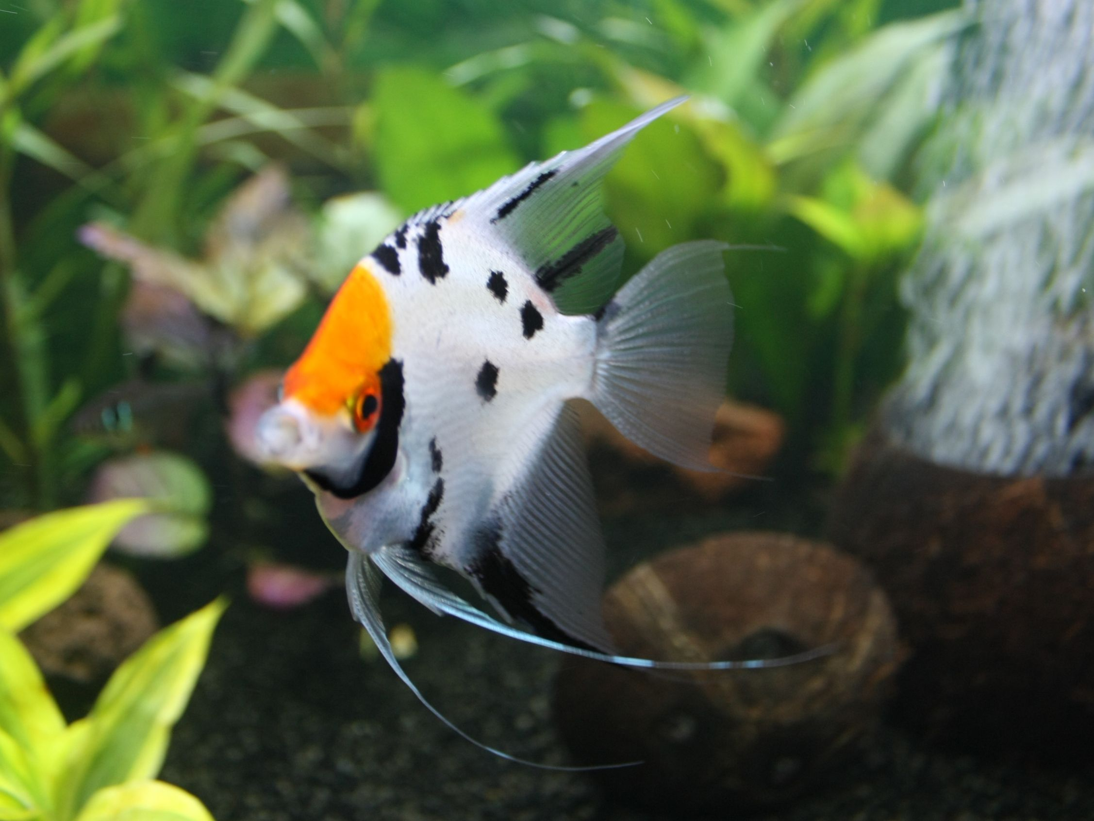 Freshwater Aquarium Fish Pterophyllum Scalare Male Fresh Water Fish Free Wallpaper In Free Pet Angel Fish Freshwater Fish Tropical Fish