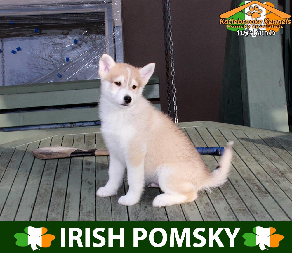 Katiebrooke Kennels Pomsky Specialists Ireland 1000 Uk 1500 Europe 1500 Usa F1b Pomsky Puppy Zed Parti Ey Pomsky Puppies Pomsky Puppies For Sale Pomsky