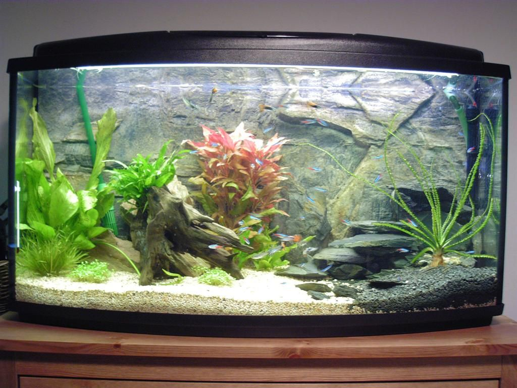 Learn how to start a freshwater aquarium with betta fish for Puffer fish aquarium