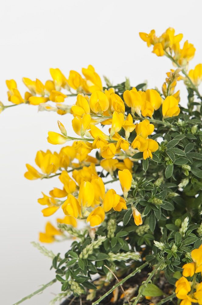Pianta Fiori Gialli Primavera.Cytisus Racemosus Nel 2020 Fiori Fiori Rari Fioritura