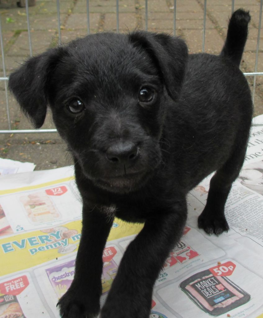 Patterdale Terrier Puppy For Sale Uxbridge Middlesex