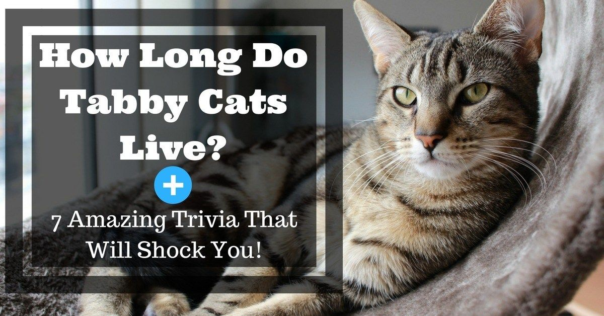 How Long Do Tabby Cats Live + 7 Amazing Trivia That Will