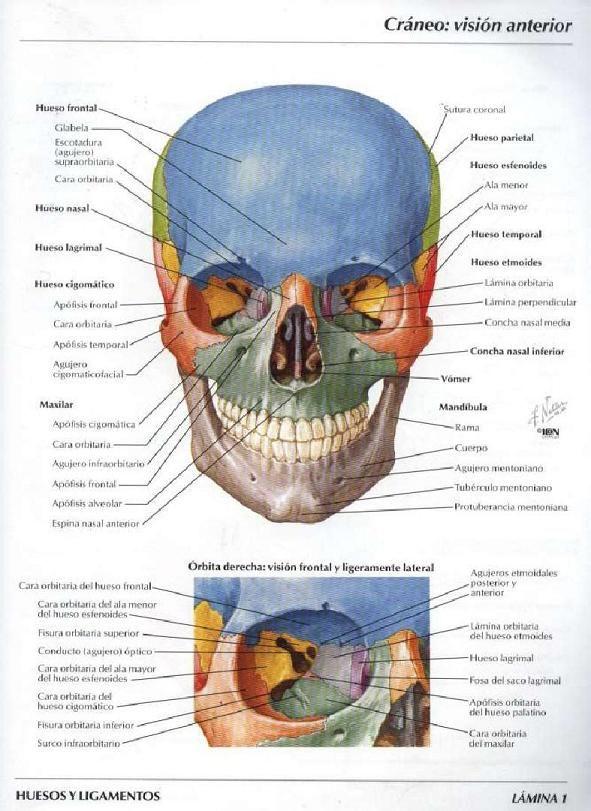 Bibliografia Atlas de Anatomia Humana de Frank H. Netter | dientes ...