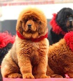 Le chien et le chat les plus chers du monde ! | SOCIETE | Pinterest ...