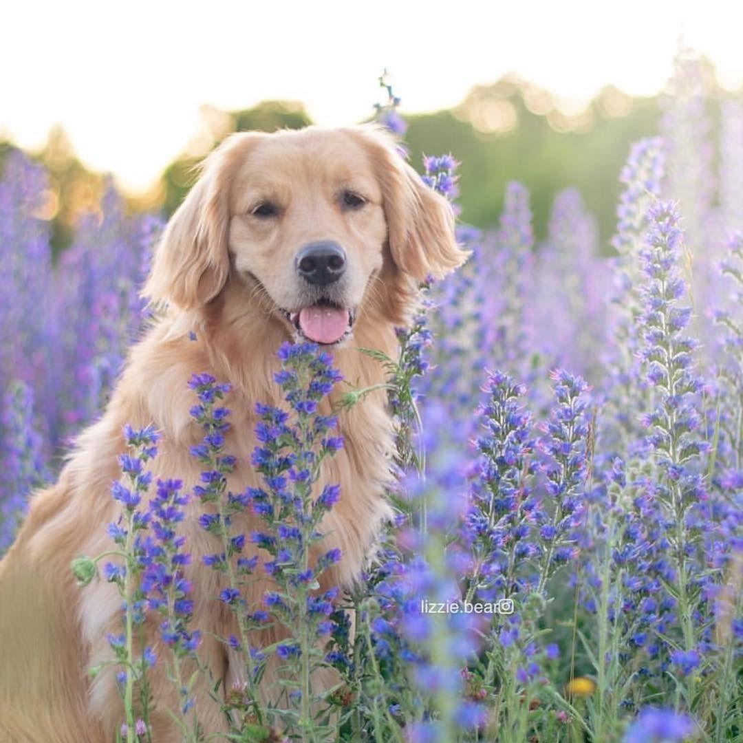 Lizzie Bear Looking Cool In A Lavender Field Dogsofinstagram