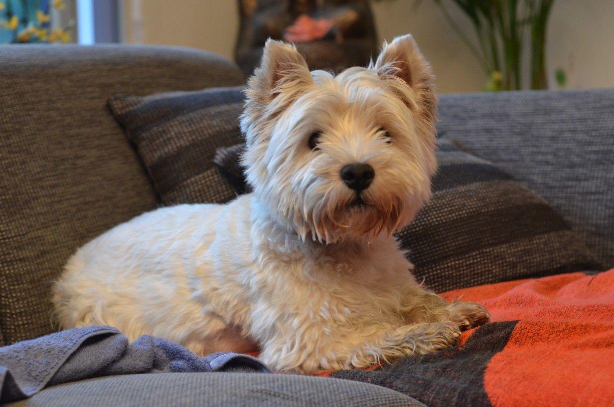 Pin By Sue Neiman On Sam De Westie West Highland Terrier Furry Friend My Animal