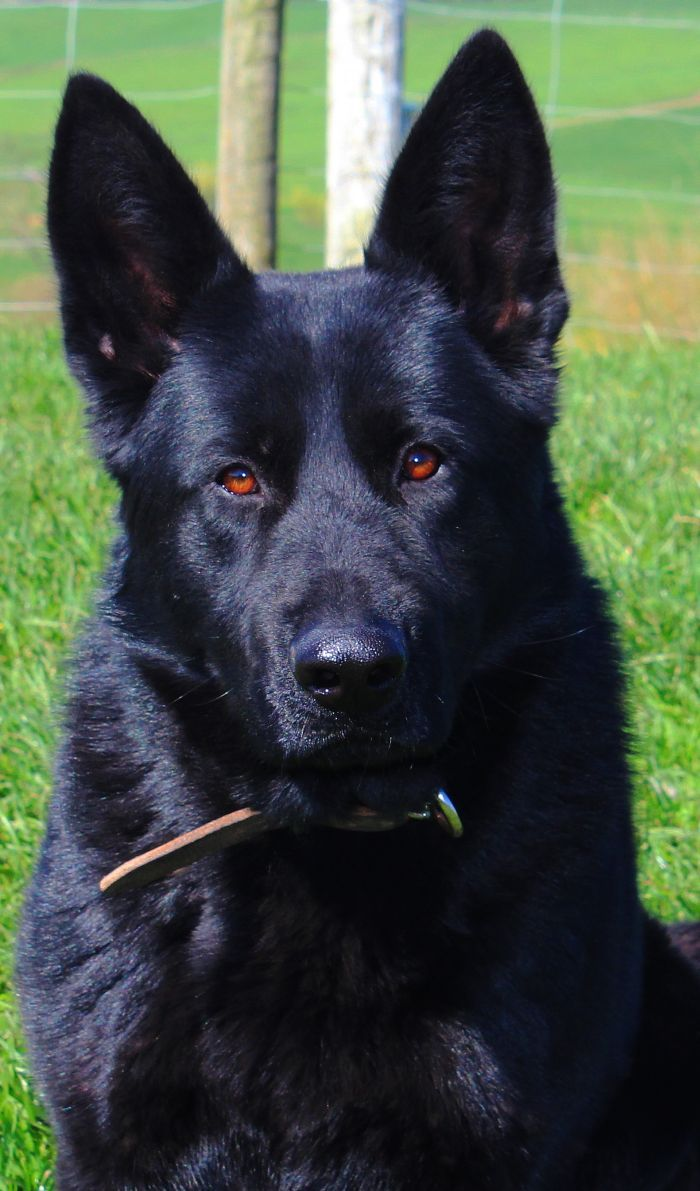 Sarskilda Kennels German Shepherds Working Line Shepherds Nz