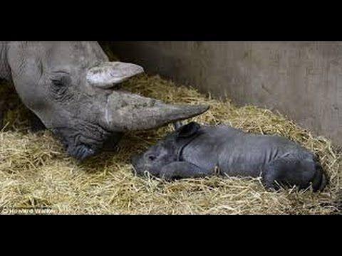 ولادة بعض انواع الحيوانات اناكوندا الفيل الزرافة أسد البحر وحيد القرن Youtube Animals Hippopotamus