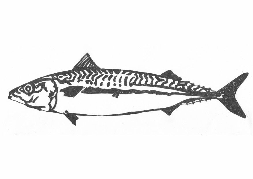 this line drawing of a mackerel was used as a template for