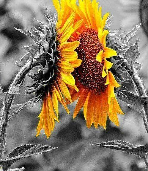 Yellow sunflowers - color splash