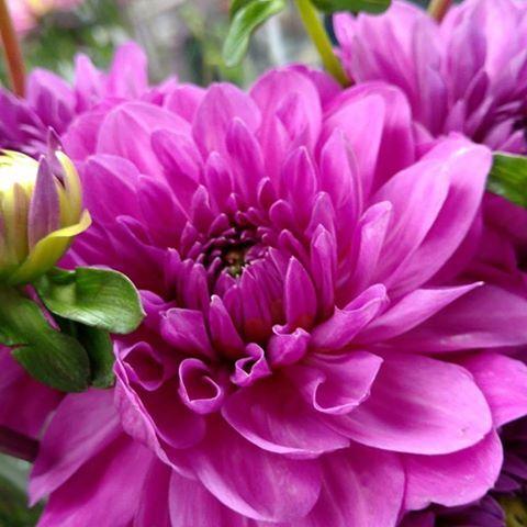 Fall Dahlias Available Now Dahlia Flower Flowers Wonderful Flowers