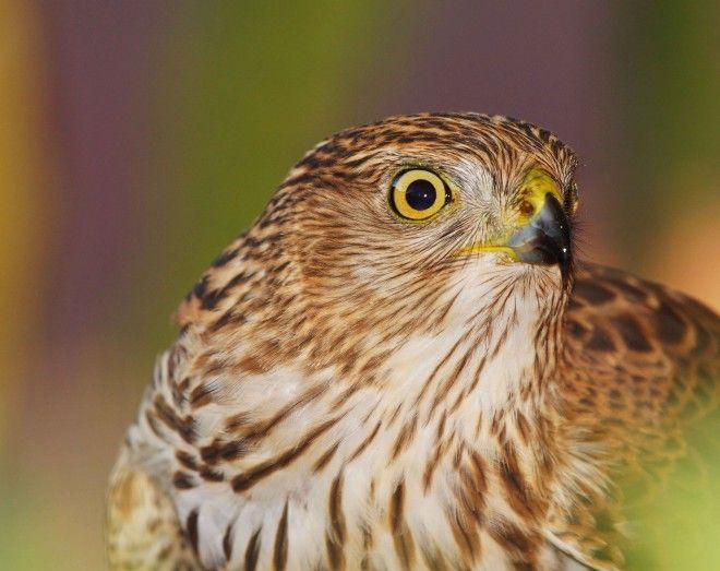 Photo of the week: Sharp-shinned Hawk - BirdWatching