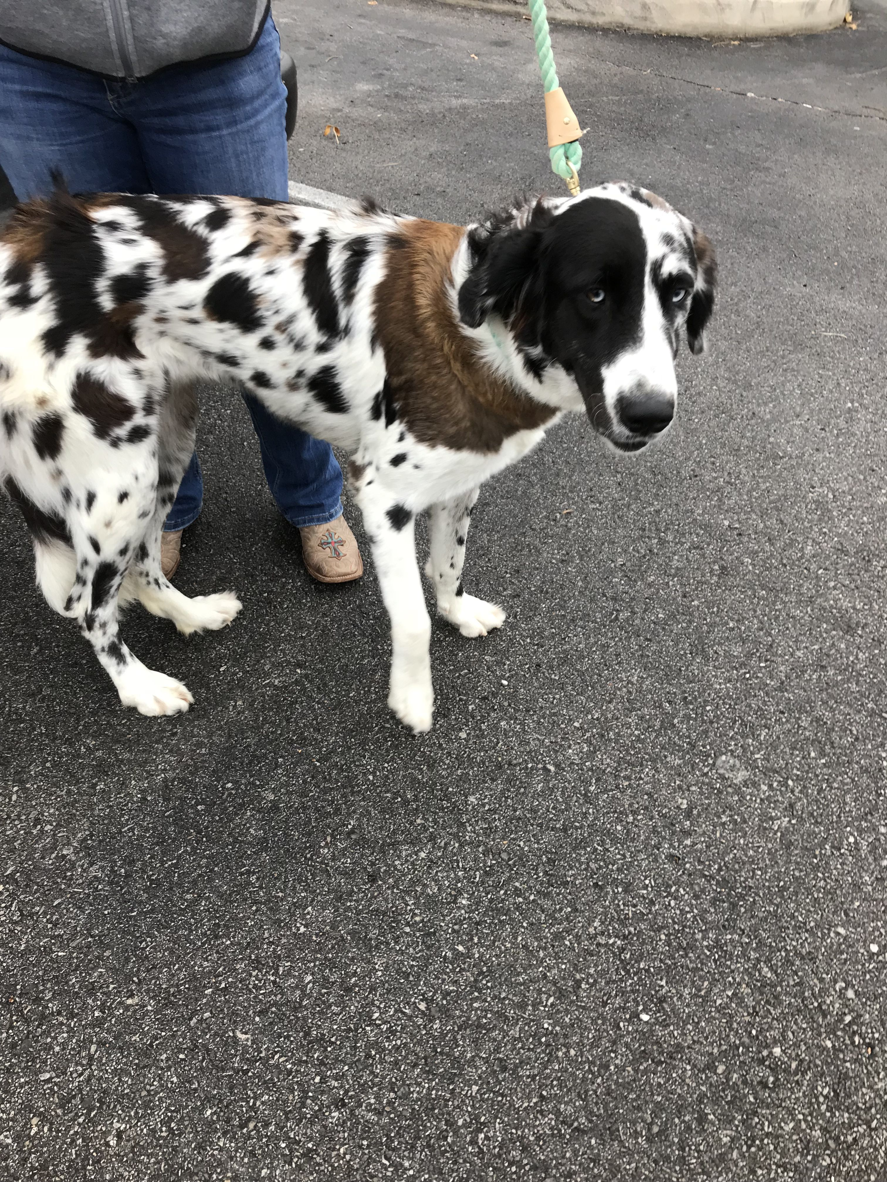 Adopt Eve on Petfinder Great dane, Great pyrenees, Pets