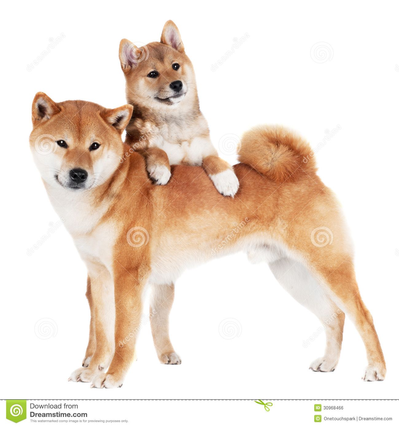 Shiba Inu Dog And Puppy Akita Puppies Akita Puppies For Sale Shiba Inu