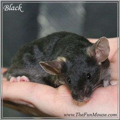 Black Mouse Small Pets Pets Animals