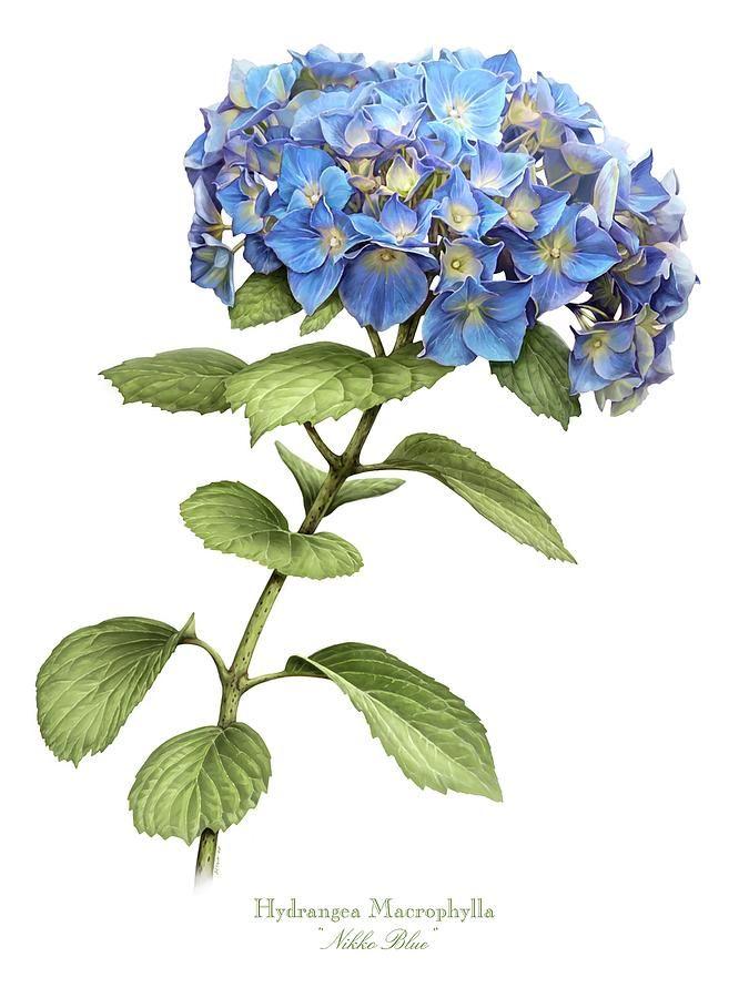 Hydrangea Macrophylla Google Search Illustration