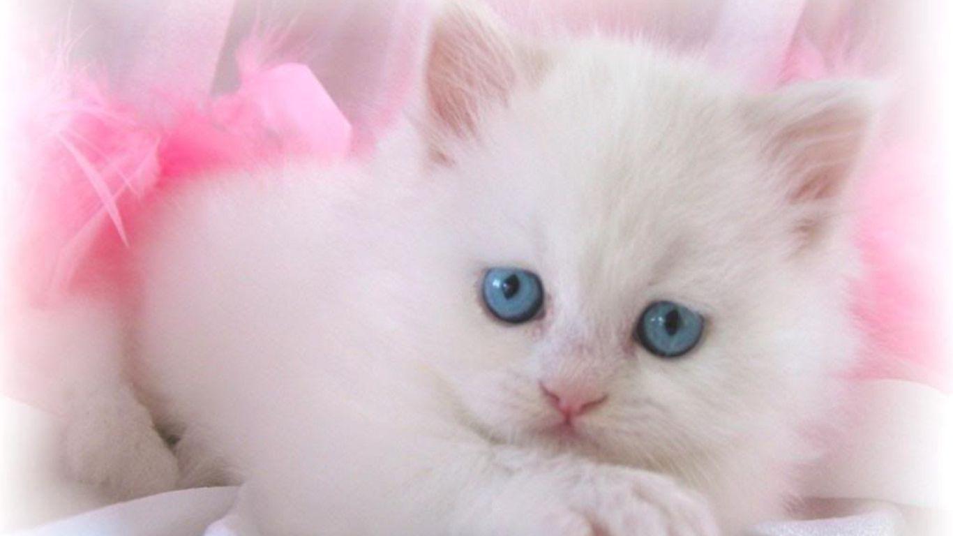 Cute White Cat Wallpapers For Desktop