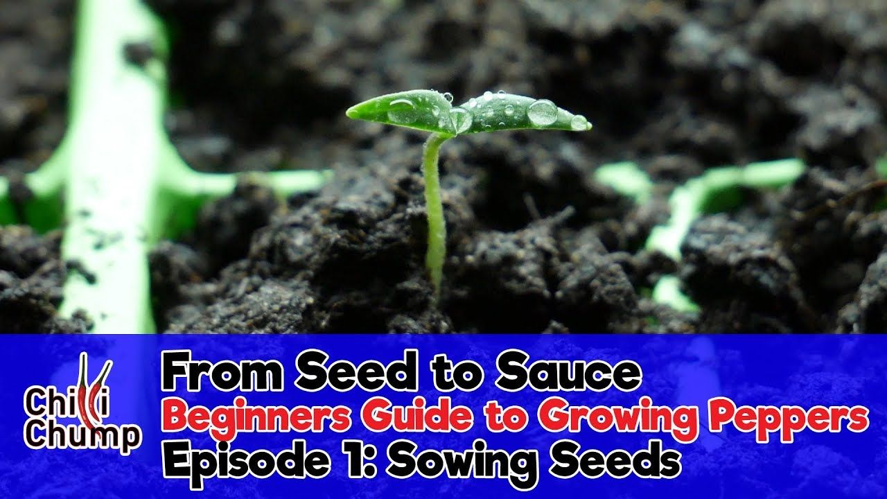 Episode 1 sowing pepper seeds beginners guide to growing