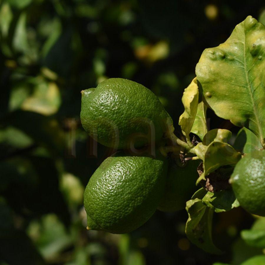 Lemon Tree Desease | Nature Background Photography #lemon #tree #leaves #green #sunlight #closeup #nature #garden #fruit #citrus #background #mavicfe #AdobeStock